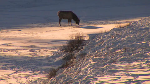An elk stands in distant snowscape Footage
