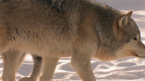 A wolf prowls in the snow with his pack Stock Video Footage