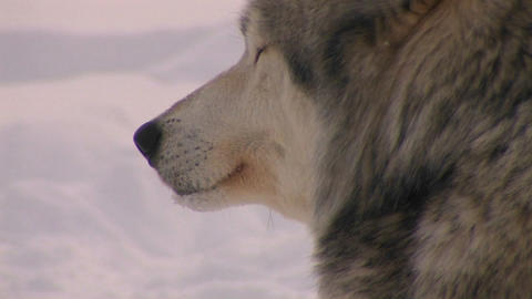 A wolf looks out on a snowy day Stock Video Footage