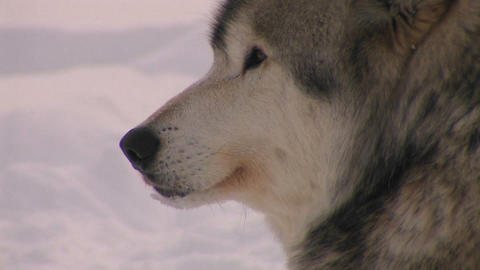A wolf looks out on a snowy day Footage