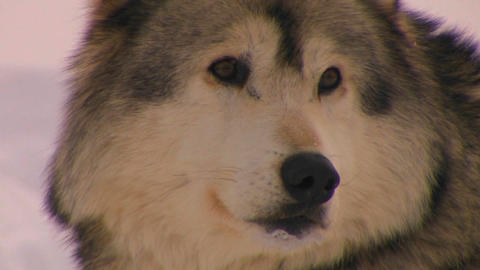 A wolf looks longingly at the camera Stock Video Footage