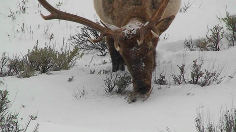 A large male elk grazes in the snow Stock Video Footage