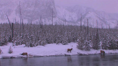 Elk gather at a stream in a frozen Yellowstone sce Footage