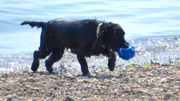Dog on the Beach Stock Video Footage