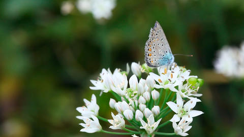 Blue butterfly Stock Video Footage