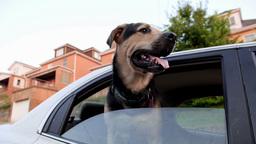 Dog in Car Footage