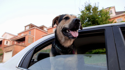 Dog in Car Stock Video Footage