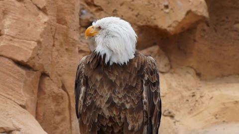 American Eagle Stock Video Footage