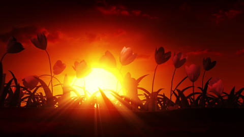 Growing tulips at sunrise Stock Video Footage