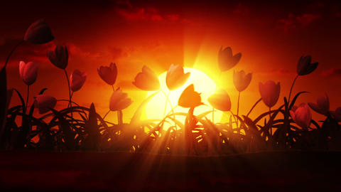 Growing tulips at sunrise Animation