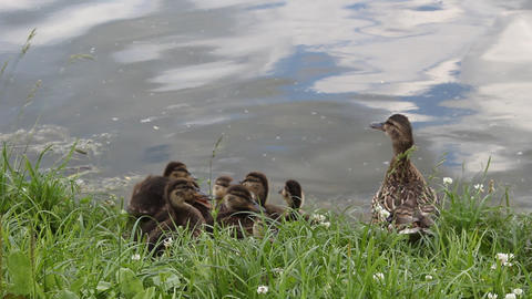 Duck with ducklings 3 Footage