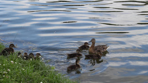Duck with ducklings Footage