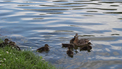 Duck with ducklings Stock Video Footage