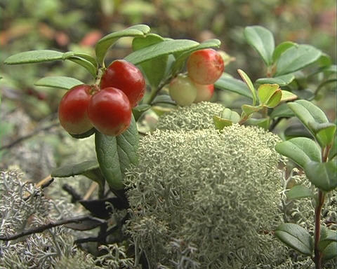 Cowberry stock footage