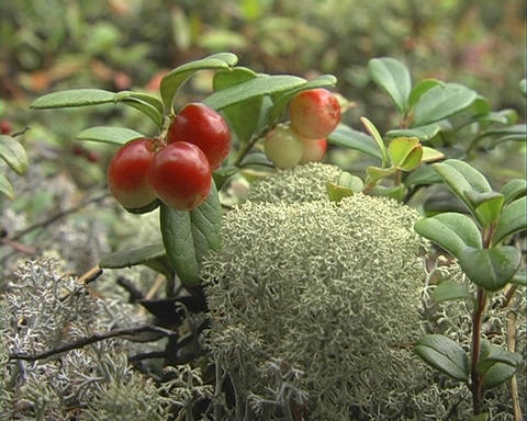 Cowberry Stock Video Footage
