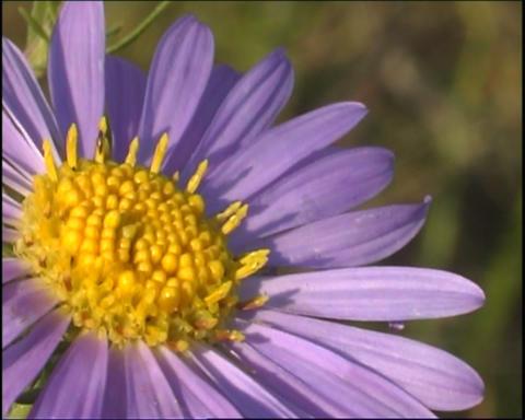 Violet flower Stock Video Footage