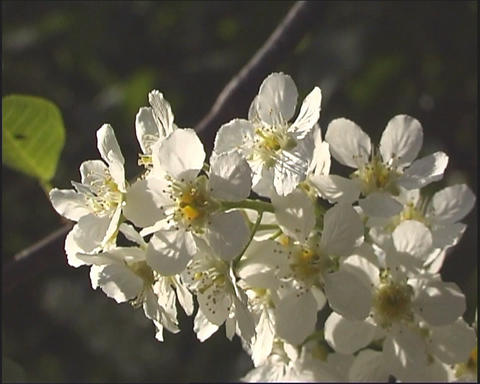 White flowerses Stock Video Footage