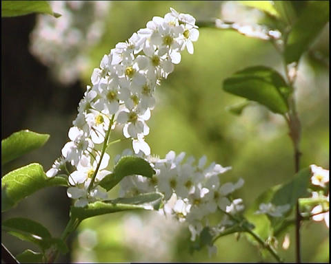 White flowerses Footage