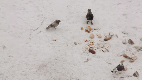 Pigeons, crow and sparrows feeding with bread on t Stock Video Footage
