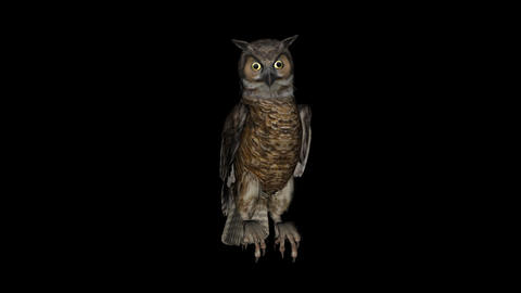 Tiger Owl Seating - Loop + Alpha Stock Video Footage