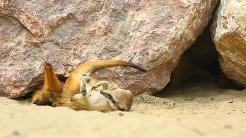Meerkats Stock Video Footage
