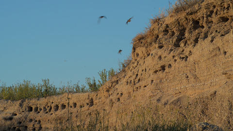 The nests of swallows in a sand quarry Live Action