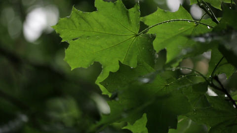 Maple leaves and raindrops Stock Video Footage