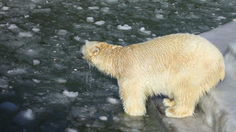 Polar bears Stock Video Footage