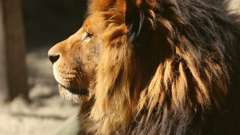 King of beasts Stock Video Footage