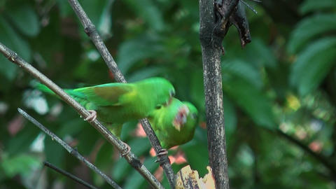 Two parrots fighting for food Stock Video Footage