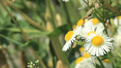 Bees on daisies Stock Video Footage