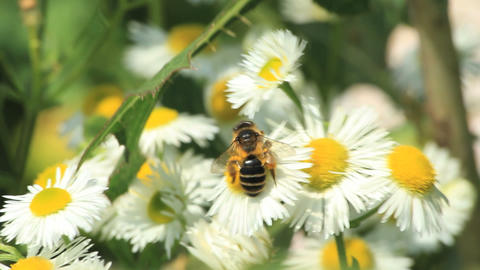 Bees on daisies Footage
