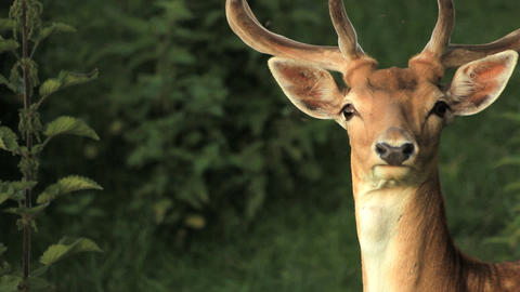 Fawn Stock Video Footage