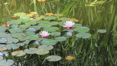 Lotuses and waterlilies Stock Video Footage