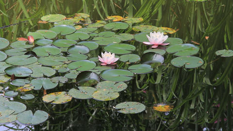 Lotuses and waterlilies Footage