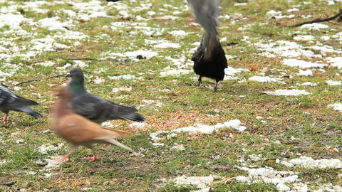 Pigeons afraid of a crow Stock Video Footage