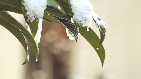 Melting snow on leaves Footage