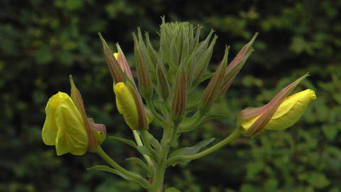 time lapse evening primrose opening 4 blooms close Footage