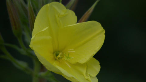 one evening primrose oenothera close time lapse 11 Stock Video Footage