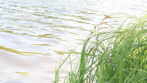 The grass near the water Footage