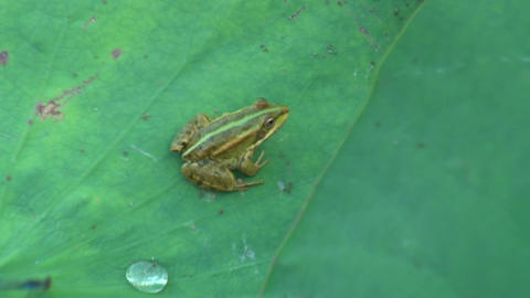 Frog on green leaf Footage