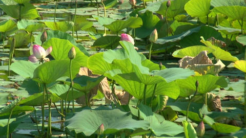 Green leaves and pink lilies Stock Video Footage