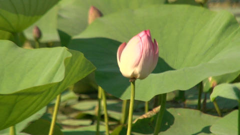 Green leaves and pink lilies Footage