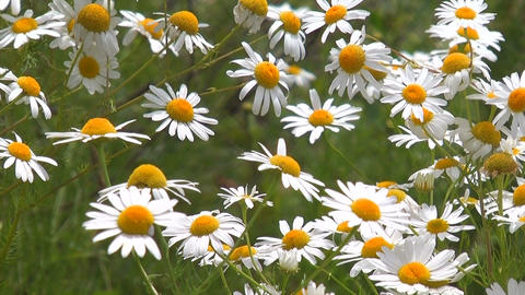 Daisies on a meadow Stock Video Footage