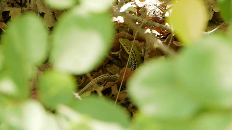A lizard in a dry leaf Stock Video Footage