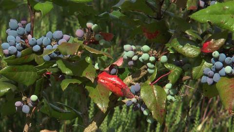 christmas holly (ilex aquifolium) closeup Stock Video Footage