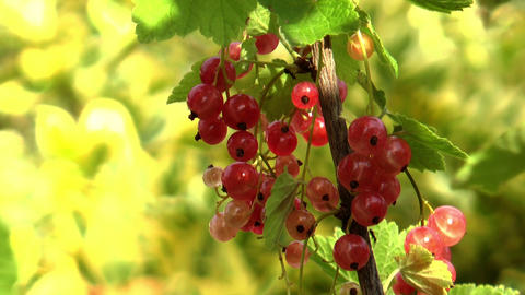 Redcurrant (ribes Rubrum) Berries Close Up. Ants M stock footage