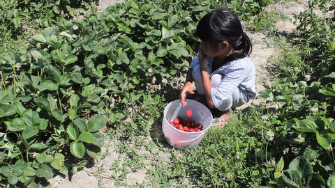 Asian Girl Filling Strawberry Bucket Stock Video Footage