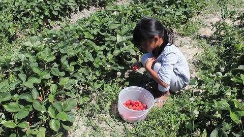 Asian Girl Filling Strawberry Bucket Footage
