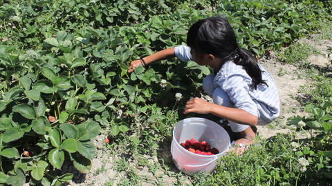 Little Asian Girl Eats Freshly Picked Strawberry Stock Video Footage